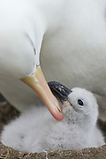 Black-browed Albatross<br /> Thalassarche melanophris<br /> Parent grooming chick<br /> New Island, Falkland Islands