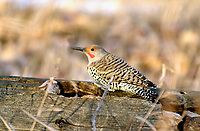 Northern Flicker (Colaptes auratus), Fish Creek Provincial Park, Calgary, Alberta, Canada   Photo: Peter Llewellyn