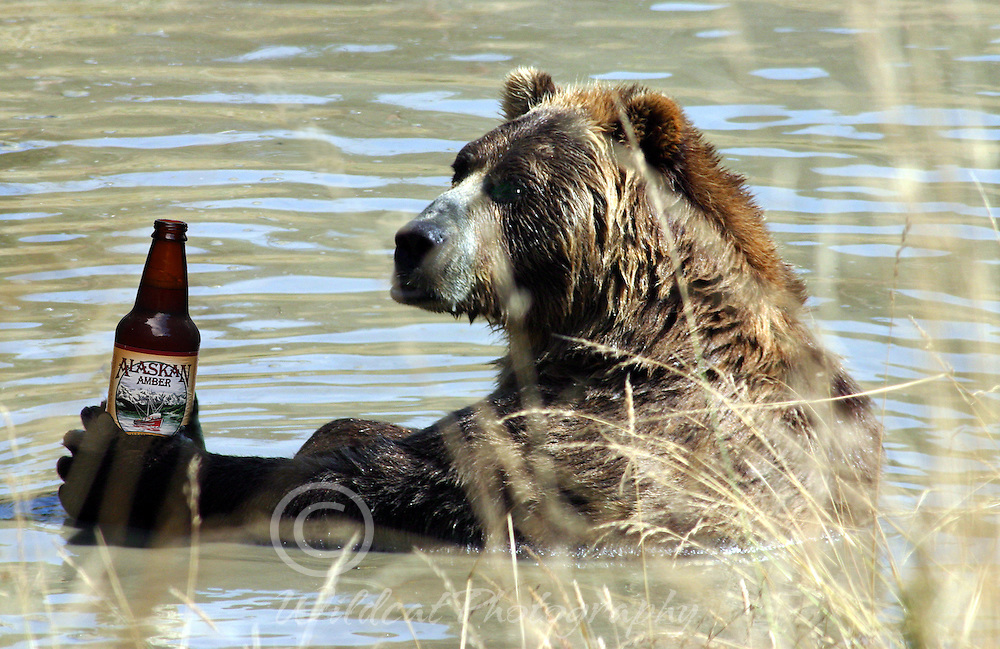 Grizzly Beer Bear staying cool.