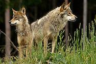 Deu, Deutschland: Wolf (Canis lupus), zwei Wölfe beobachten ihre Artgenossen, Lebensraum: Alpen, Schwarzwaldpark Löffingen, Baden-Württemberg | DEU, Germany: Wolf (Canis lupus), two wolves watching conspecifics, hapitat: European Alps, Black Forest Park, Loeffingen, Baden-Wuerttemberg |