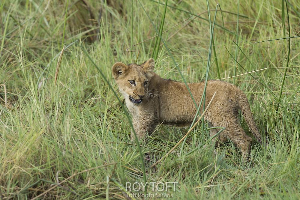 Juvenile African lion, Duba Plains, Botswana