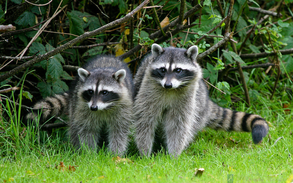 These two young raccoons at Seaview, near Port Townsend, Washington are mischief looking for a place to happen