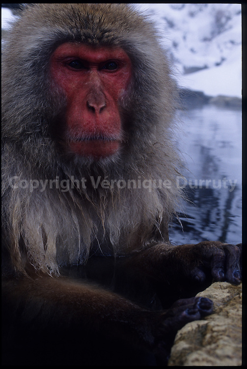 We normally think of monkeys in tropical surroundings, but these Japanese macaques, or snow monkeys, live in the Nagano mountains of Japan where temperatures hit well below freezing in winter. Highly sociable in their behaviour, they are the only monkeys to live in such cold temperatures. Their thick furry coats may help to keep them warm but they have found a more entertaining way to keep out the wintry chill : take a relaxing bath in the natural hot sources of the mountains. / Singes des neiges ( japanese maquaques ou Macaca fuscata) les singes les plus nordiques du monde, prenant un bain chaud dans les onsen naturels des Alpes japonaises, parc  de Jigokudani, Honshu, Japon