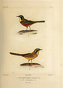 hand coloured sketch Top: olive-crowned crescentchest (Melanopareia maximiliani [Here as Synallaxis torquata]) Bottom: double-collared crescentchest (Melanopareia bitorquata [Here as Synallaxis bitorquata]) From the book 'Voyage dans l'Amérique Méridionale' [Journey to South America: (Brazil, the eastern republic of Uruguay, the Argentine Republic, Patagonia, the republic of Chile, the republic of Bolivia, the republic of Peru), executed during the years 1826 - 1833] 4th volume Part 3 By: Orbigny, Alcide Dessalines d', d'Orbigny, 1802-1857; Montagne, Jean François Camille, 1784-1866; Martius, Karl Friedrich Philipp von, 1794-1868 Published Paris :Chez Pitois-Levrault et c.e ... ;1835-1847