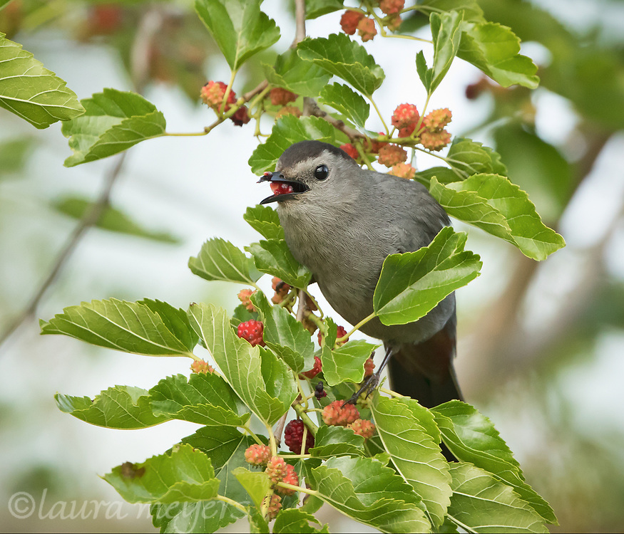 Gray Catbird on Mulberry Bush eating a mulberry at Jamaica Bay Wildlife Refuge