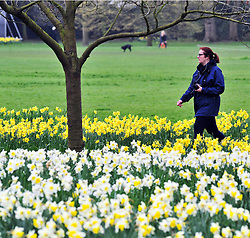 © Licensed to London News Pictures.06/04/2018<br /> GREENWICH, UK.<br /> SPRING weather and daffodils at Greenwich Park,London.<br /> Photo credit: Grant Falvey/LNP