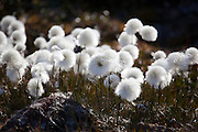 Eriophorum scheuchzeri, Arctic Cotton Grass, flowers near Humboldt Glacier in Kane Basin, West Greenland