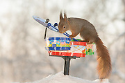 "EXCLUSIVE<br /> Photographer Pictures Squirrels With Tiny Musical Instruments Through Kitchen Window<br /> <br /> Some years ago, squirrels started to come to photographer Geert Weggen's  garden, He decided to build an outside studio from a balcony and started to shoot photos his kitchen window, Some days upto 6 squirrels visit Geert daily.<br /> <br /> This year Geert worked on an idea for a children's book, ""Squirrel Teaching You The Alphabet"", and was confronted with some letters like an object starting with an ""X"". That became a squirrel photo with a xylophone. From there Geert started doing a series of squirrel photos with music instruments. ""It took months to get some music instruments with the right size. I try to bring some magic, wonder and happiness with my work"", these are real photos. Sometimes I take away a wire or some food.<br /> <br /> Photo Shows: DRUMMING....red squirrel in snow with drums  <br /> ©Geert Weggen/Exclusivepix Media"