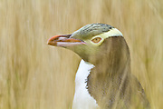 Endangered Yellow-eyed Penguin, hiding amongst the tall grass, Moeraki, New Zealand