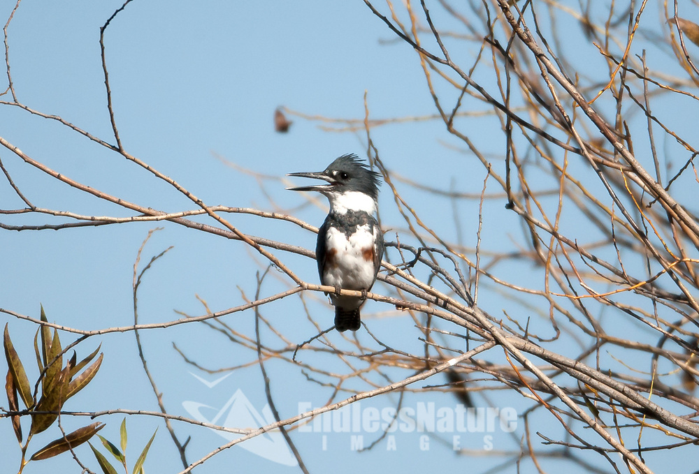 A female Belted Kingfisher perched over a creek watches for fish or insects in the water and then dives into the water to catch them.