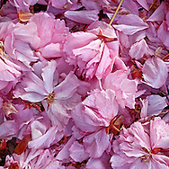 Fallen Blossoms, Cherry Blossoms, Prospect Park, Brooklyn, New York