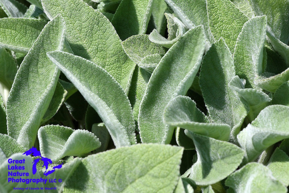 This is a neat foliage shot of the perennial herb known as Lamb's Ear. The name pretty much says it all.