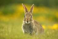 Young rabbit, Conwy RSPB reserve