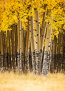 Aspen trees in fall. Valle Vidal unit of the Carson National Forest.