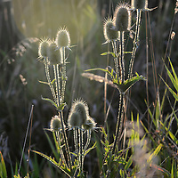 Laura Stoecker/lstoecker@dailyherald.com<br /> Common teasel plants are highlighted by the setting sun near Campton Hills. The plant, which is done blooming, is an invasive species which came from Europe. It is often seen growing along roadsides in the area.