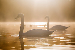 © Licensed to London News Pictures. 08/10/2015. Leeds, UK. Picture shows swans enjoying the morning sun at Golden Acre park in Leeds. Photo credit: Andrew McCaren/LNP