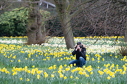 ©Licensed to London News Pictures 03/03/2020<br /> Greenwich, UK. A man taking pictures of the daffodils. A cold weather day at Greenwich Park, Greenwich, London. Photo credit: Grant Falvey/LNP