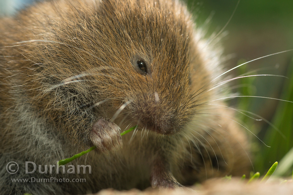 A red tree vole (Arborimus longicaudus) stripping away the resin duct from a Douglas fir needle. Red tree voles are rarely seen. They are nocturnal and live in Douglas fir tree tops and almost never come to the forest floor.  They are one of the few animals that can persist on a diet of conifer needles which is their principle food.  As a defense mechanism, conifer trees have resin ducts in their needles that contain chemical compounds (terpenoids) that make them unpalatable to animals.  Tree voles, however, are able to strip away these resin ducts and eat the remaining portion of the conifer needle.