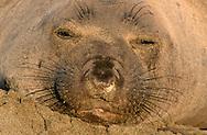USA, Vereinigte Staaten Von Amerika: Nördlicher See-Elefant (Mirounga angustirostris), Porträt eines schlafenden See-Elefantenweibchens, Strand direkt neben California State Route 1, San Simeon, Kalifornien | USA, United States Of America: Northern Elephant Seal (Mirounga angustirostris), portrait of a sleeping elephant seal cow, beach directly next to Cabrillo Highway 1, San Simeon, California |