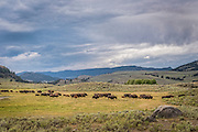 Bison herd, Lamar Valley, Yellowstone National Park, Wyoming.
