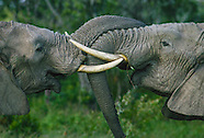 Endangered African Elephants