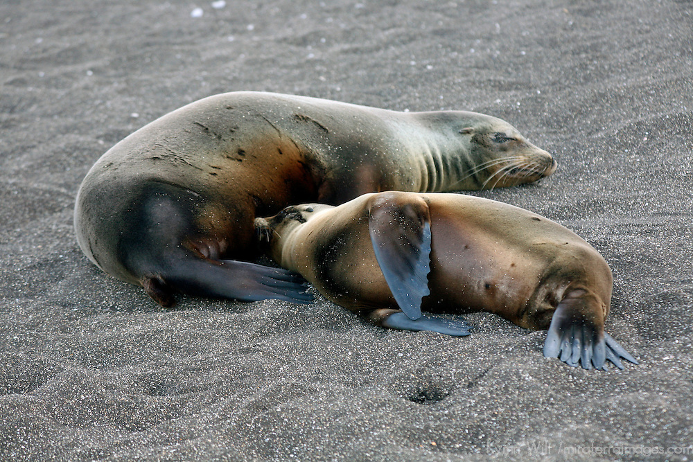 South America, Ecuador, Galapagos Islands, Santiago Island, James Island, Port Egas. A Sea Lion nursees her young at Santiago Island.