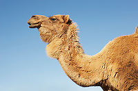 Camel against clear sky side view of neck and head