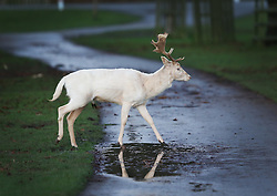 © Licensed to London News Pictures. 31/12/2015. London, UK. A white deer crosses a path at first light in Bushy Park. Photo credit: Peter Macdiarmid/LNP