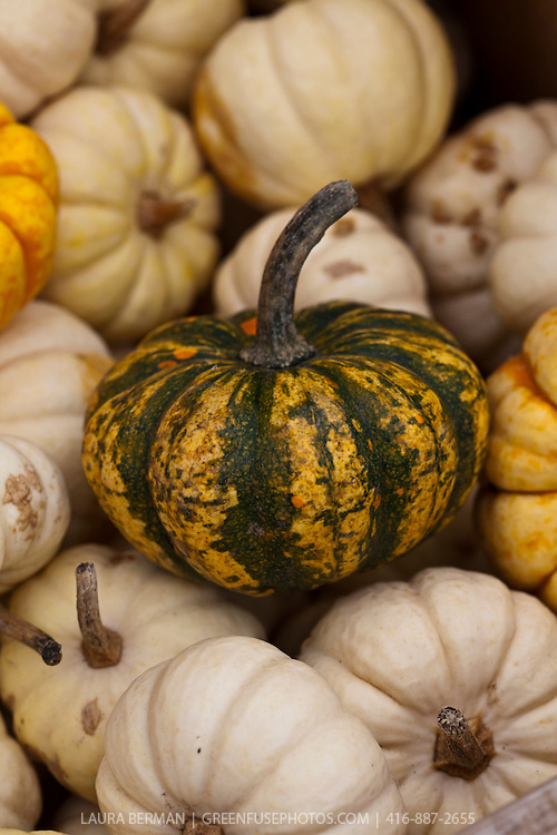 Gold and green ornamental squash with 'Baby Boo' mini white pumpkins.