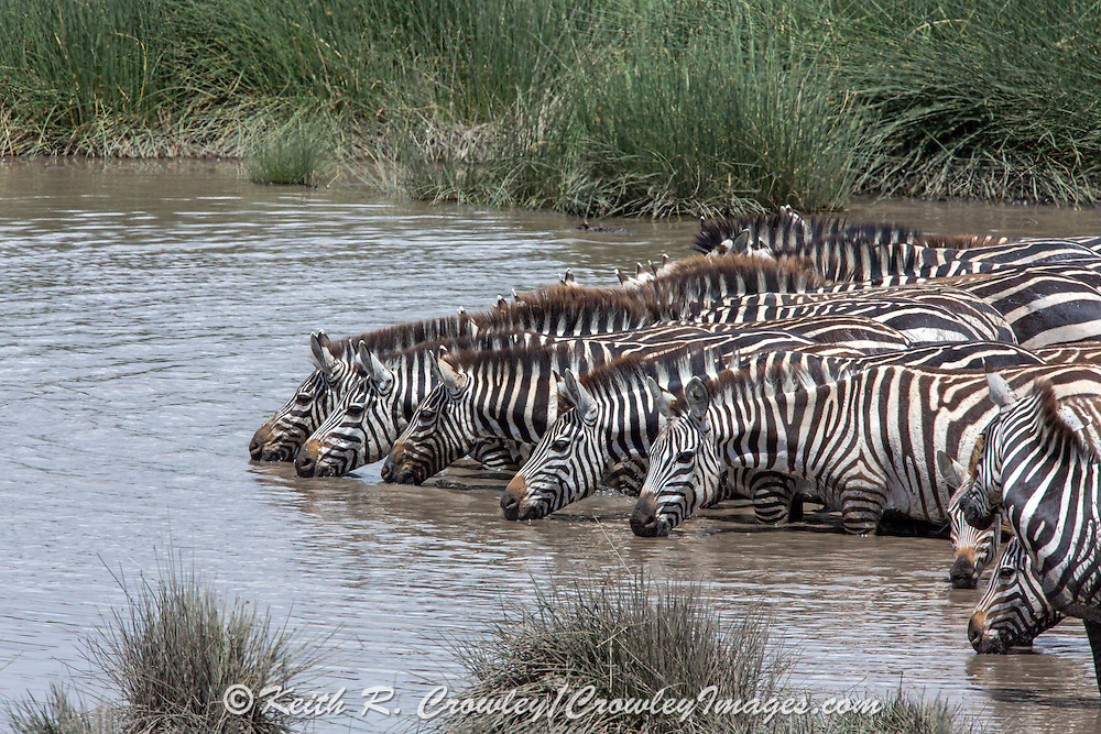 A group of Zebra drink together at a water hole in East Africa.