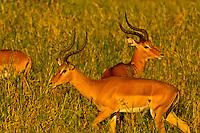 Impala ram, Tarangire National Park, Tanzania