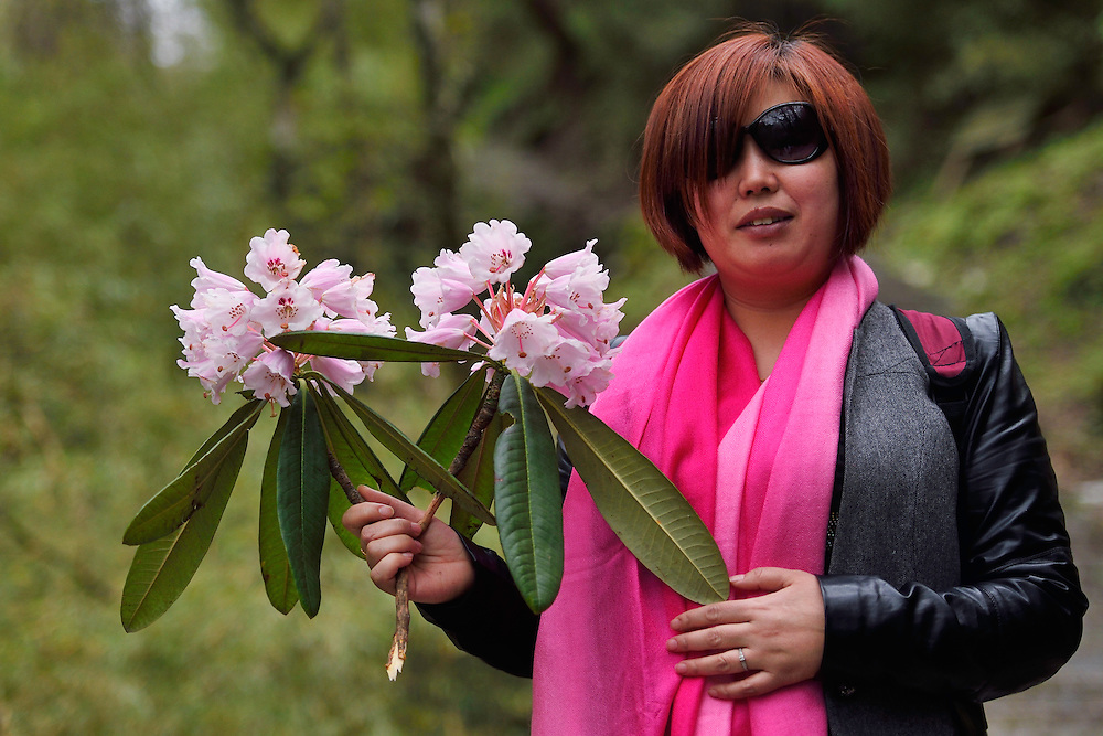 Visitor/Tourist picking Rhododendron flowers, against the law, Tangjiahe National Nature Reserve, NNR, Qingchuan County, Sichuan province, China