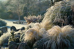 Stipa tenuissima on the rock garden illuminated by early sunlight on a frosty morning. Design: John Massey, Ashwood Nurseries