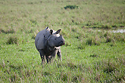 The Indian rhinoceros (Rhinoceros unicornis), also called the single horned rhinoceros, greater one-horned rhinoceros and great Indian rhinoceros, is native to the Indian subcontinent.  Historically the species was widespread across northern India,  however, excessive hunting and agricultural development reduced their range drastically to 11 sites in northern India and southern Nepal.<br />