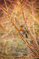 Robin sitting amongst the branches of Cornus sanguinea 'Midwinter Fire' in the Winter Garden at Dunham Massey