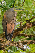 Bare-throated Tiger Heron (Tigrisoma mexicanum) sitting on a branch on the side of a river in Costa Rica