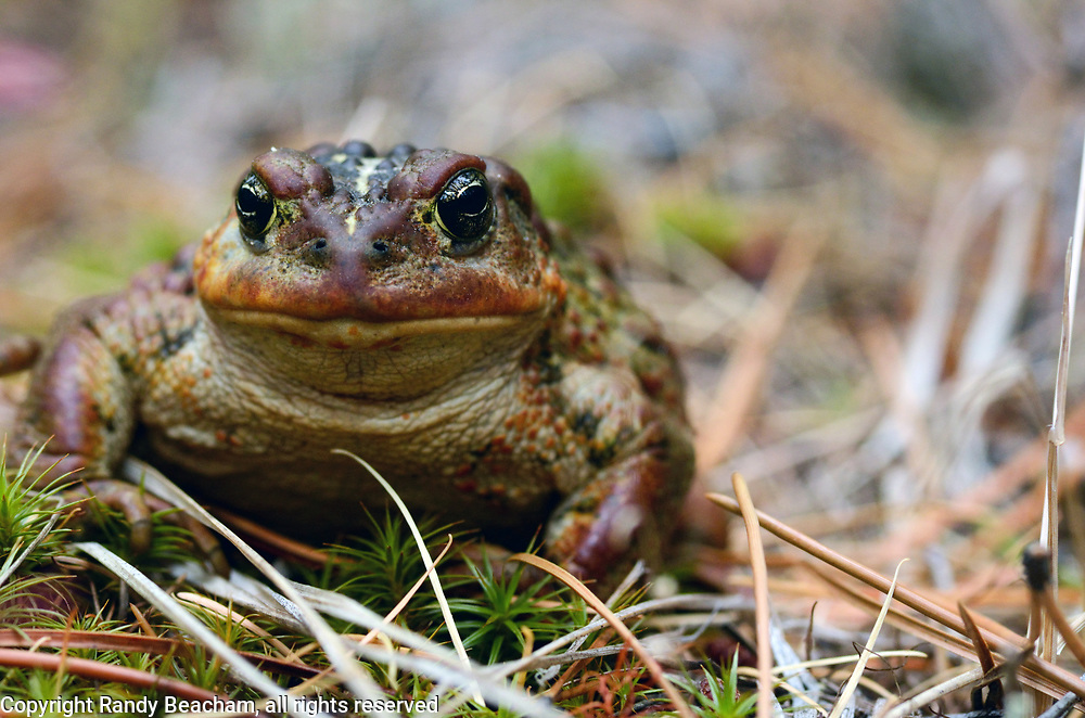 Western toad in a conifer forest in early fall. Yaak Valley in the Purcell Mountains, northwest Montana.