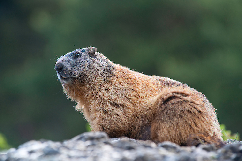 Alpine marmot, Marmota marmota, Guillestre, Queyras, France, Europe
