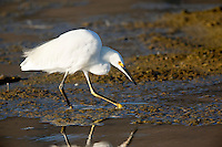 Snowy Egret (Egretta thula) Foraging Through Mudflats, Malibu Lagoon State Beach, California