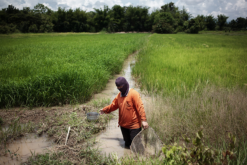 A woman works in a rice plantation around Pak Ok, where the first case of surrogacy was recorded. Money is the main reason why many young girls from the area decide to become surrogate mothers.<br /> Petchabun province, Thailand. Aug 25 2014<br /> Credit : Giorgio Taraschi for The New York Times