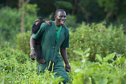 Chimpanzee<br /> Pan troglodytes<br /> Rodney Lemata (Caretaker) carrying infant rescued chimpanzee(s) on his back<br /> Ngamba Island Chimpanzee, Sanctuary <br /> *Model release available - Release #MR_007