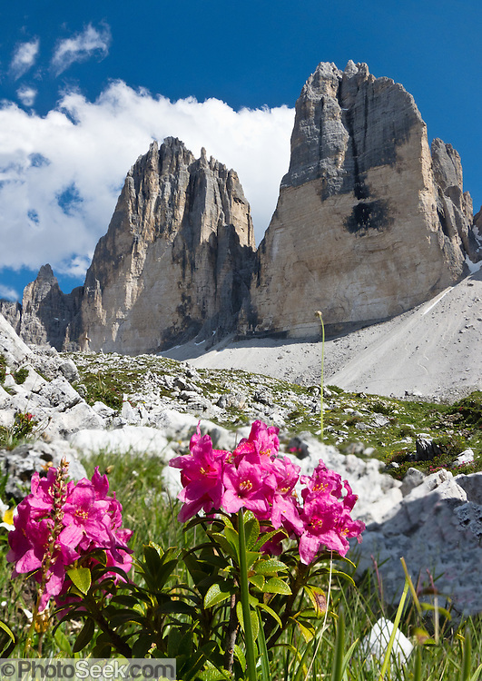 """Alpine rhododendron flowers bloom under Tre Cime di Lavaredo (Italian for """"Three Peaks of Lavaredo,"""" also called Drei Zinnen or """"Three Merlons"""" in German), which are distinctive icons of the Alps, in the Sexten Dolomites of northeastern Italy, Europe. Until 1919 the peaks formed part of the border between Italy and Austria. Now they lie on the border between the Italian provinces of South Tyrol and Belluno and still are a part of the linguistic boundary between German-speaking and Italian-speaking majorities. Cima Grande rises to 2999 meters (9839 feet), between Cima Piccola  2857 m (9373 ft) and Cima Ovest  or """"Western Peak"""" 2973 m (9754 ft). The Dolomites were declared a natural World Heritage Site (2009) by UNESCO. Two photos were combined for greater depth of focus."""