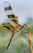 Dewy Dragonfly
