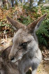A Tasmanian wallaby
