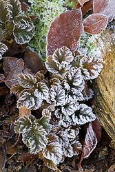 Frost on the leaves of Astilbe x crispa 'Lilliput'
