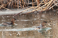 As the snow continues to fall the Pied Billed Grebe continue to fish.