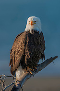 Bald eagle perched with ocean background, © 2005 David A. Ponton