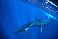 Two large Humpback whales dive beneath the surface in crystal clear blue water off the coast of Moorea, French Polynesia in the Society islands.