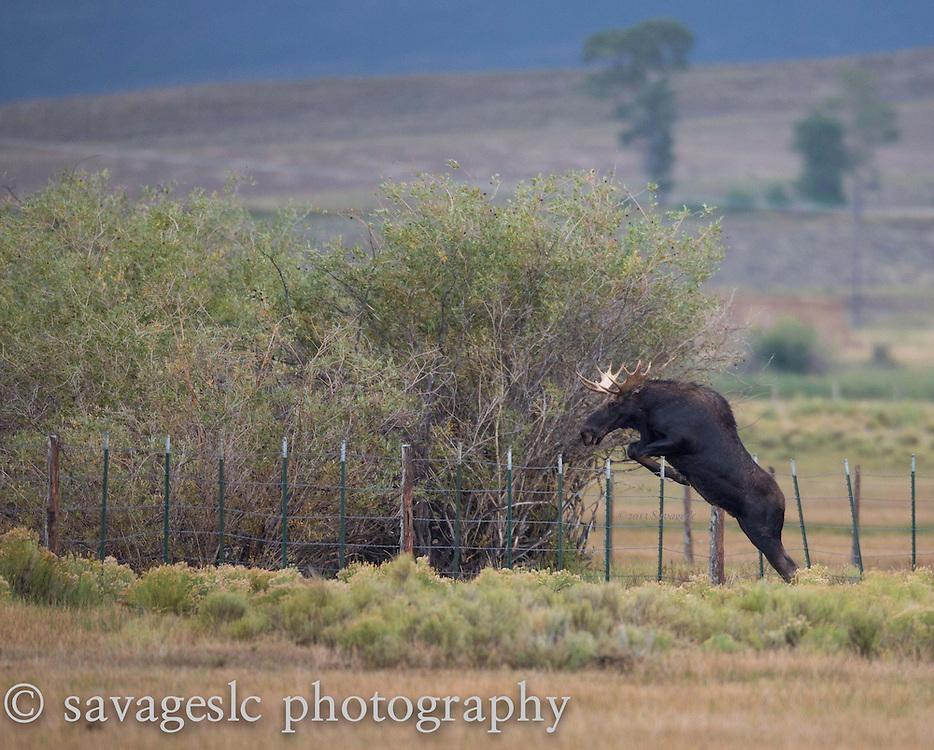 Jumping moose.