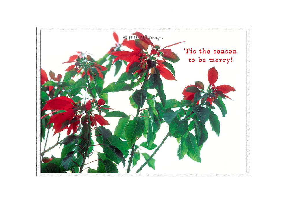 Holiday card with poinsettias in bloom on a white ground.   Original photo shows the entire tree growing.